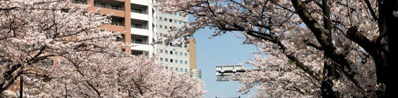 ヨガスタジオ周辺の桜